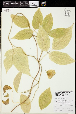 Image of Centrosema macrocarpum