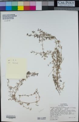 Galium andrewsii image