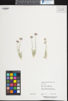 Image of Erigeron pulcherrimus