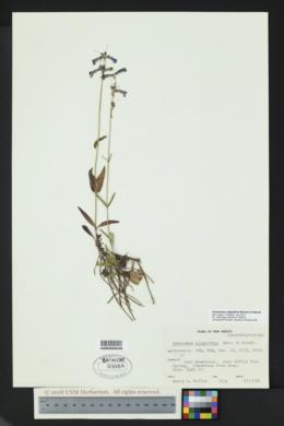 Penstemon oliganthus image