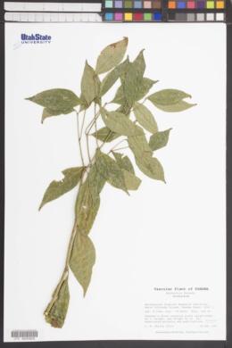 Image of Psychotria furcata
