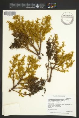 Arceuthobium globosum subsp. grandicaule image