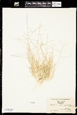 Schedonnardus paniculatus image