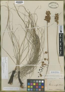 Image of Schoenocaulon caricifolium