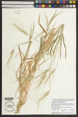 Image of Aegilops columnaris