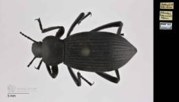 Eleodes hispilabris image