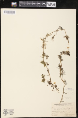 Ranunculus aquatilis image
