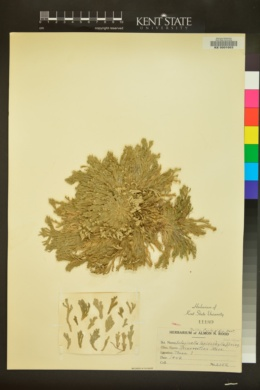 Selaginella lepidophylla image