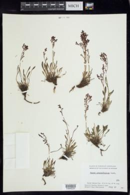 Image of Rumex graminifolius