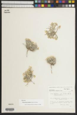 Image of Physaria pycnantha