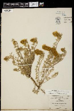 Image of Dalea triphylla