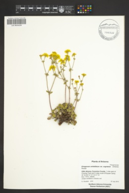 Eriogonum umbellatum var. cognatum image