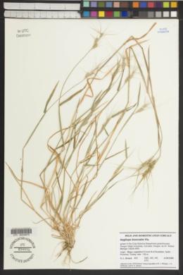 Aegilops biuncialis image