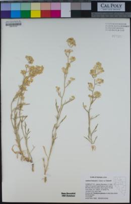 Image of Lepidium fremontii
