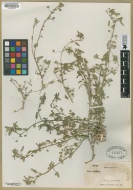 Sida abutilifolia image