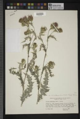 Cirsium arizonicum var. bipinnatum image