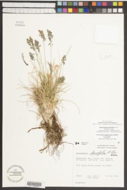 Deschampsia brevifolia image