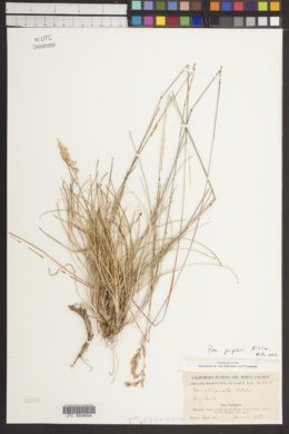 Image of Poa piperi