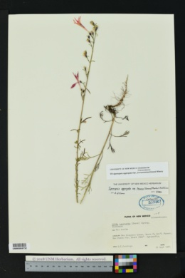 Ipomopsis aggregata subsp. formosissima image