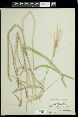 Image of Leptochloa pluriflora
