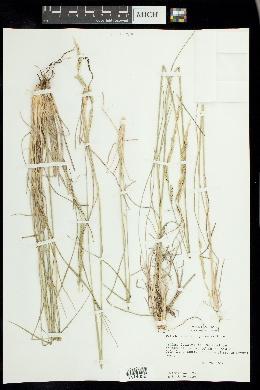 Eriochloa sericea image