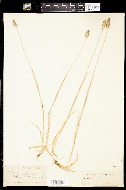 Image of Phleum hirsutum