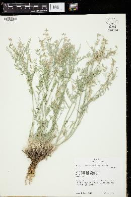 Image of Astragalus caricinus