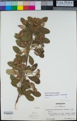 Cotoneaster lacteus image