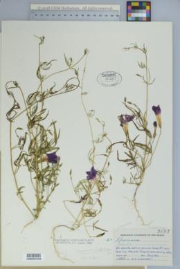 Ipomoea ternifolia var. leptotoma image