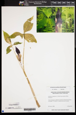 Image of Arisaema pusillum