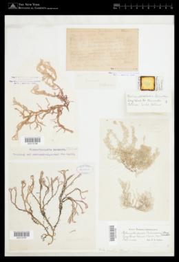 Helminthocladia calvadosii image