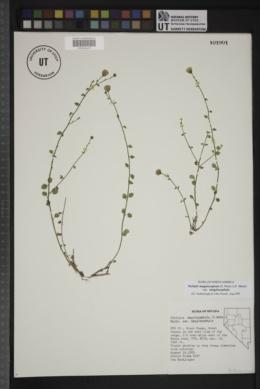 Perityle megalocephala image