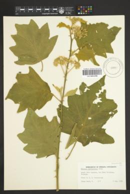 Solanum ferrugineum image