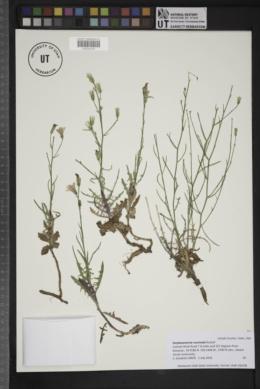 Image of Stephanomeria runcinata