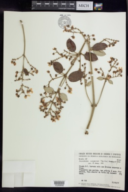 Banisteriopsis anisandra image