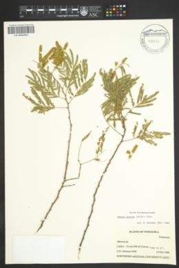 Image of Mimosa arenosa