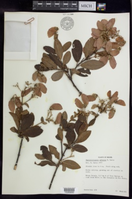 Banisteriopsis arborea image