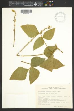 Image of Calopogonium coeruleum