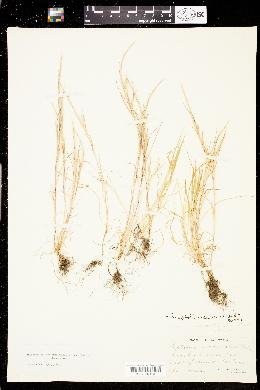 Image of Parapholis incurva