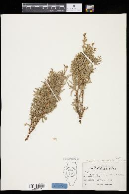 Platycladus orientalis image