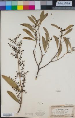 Acacia melanoxylon image