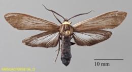 Cisseps fulvicollis image