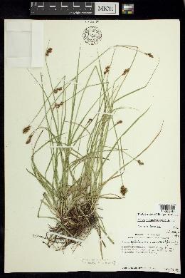 Image of Carex lagunensis
