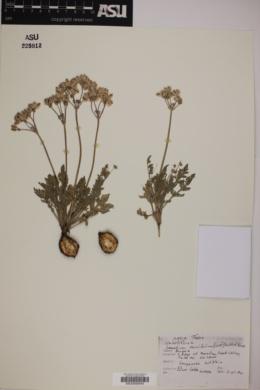 Image of Lomatium daucifolium