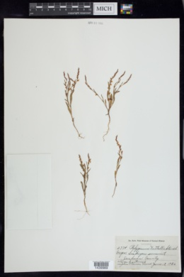 Image of Polygonum nuttallii