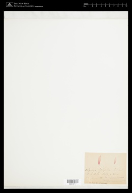 Halymenia latifolia image