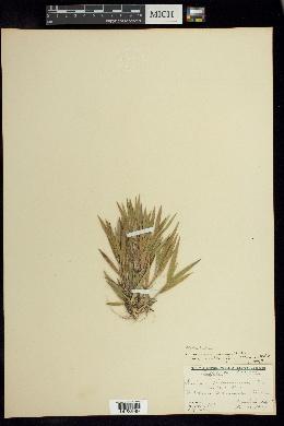 Dichanthelium commonsianum image