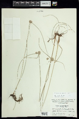 Cyperus ischnos image
