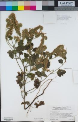 Phacelia malvifolia image