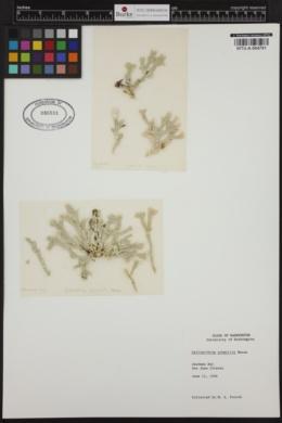 Bossiella californica subsp. schmittii image